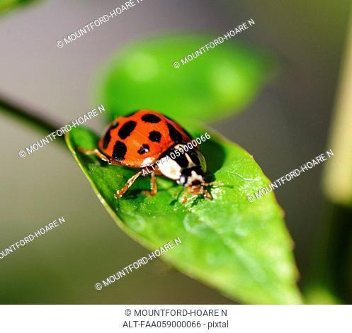 Ladybug crawling on leaf