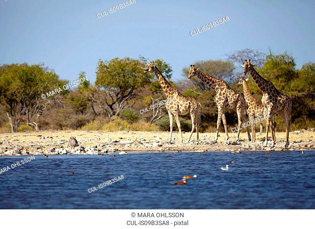 Giraffes and juvenile at edge of lake, Namibia, Africa