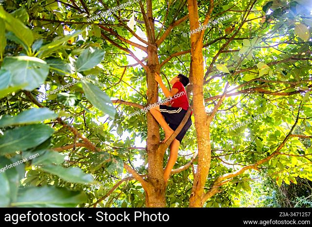 Native cuban boy climbing in a tree to pluck an avocado in Topes de Collantes, Trinidad, Republic of Cuba, Caribbean, Central America