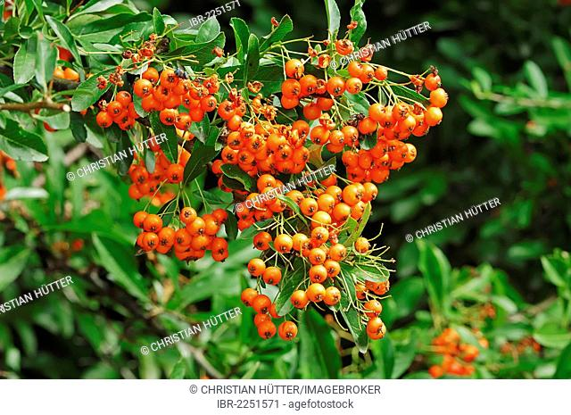 Firethorn (Pyracantha sp.), berries on the bush, ornamental trees and shrubs