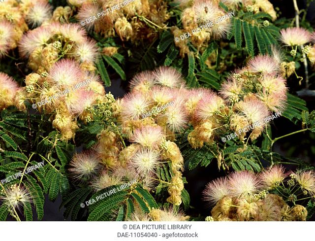 Persian Silk Tree leaves and flowers (Albizia julibrissin), Fabaceae-Lehuminosae-Mimosoideae