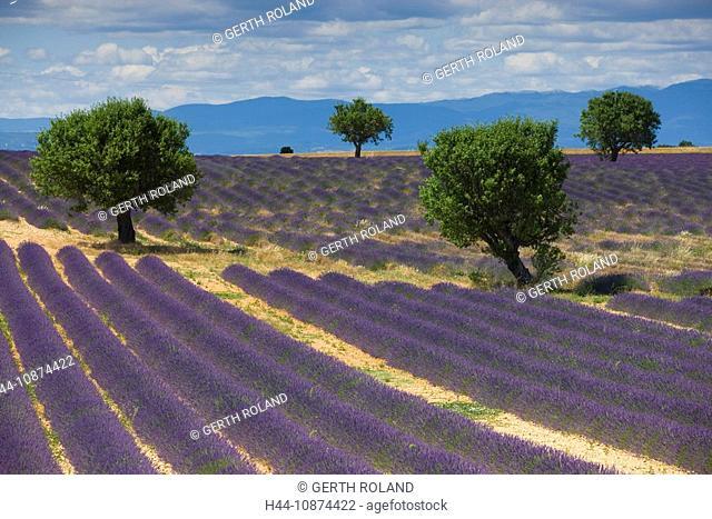 Valensole, France, Provence, Alpes-de-Haute-Provence, lavender field, lavender rows, lavenders, trees, almond trees