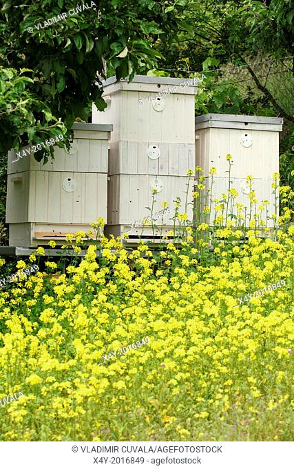 The blooming yellow flowers of White mustard (Sinapis alba) in front of bee hives. Location: Male Karpaty, Slovakia