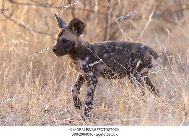Africa, Southern Africa, South African Republic, Kalahari Desert, African wild dog or African hunting dog or African painted dog (Lycaon pictus), young