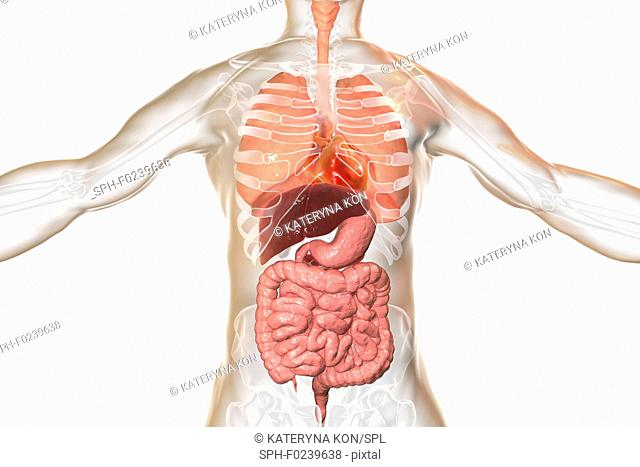 Illustration of a man's internal organs. Respiratory and digestive system