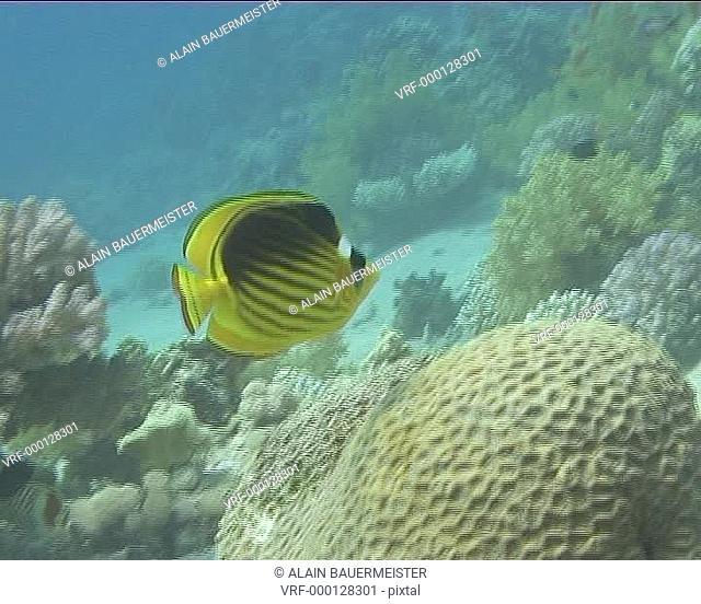 Medium shot Butterfly fish feeding on coral. Dahab, Red Sea, Egypt