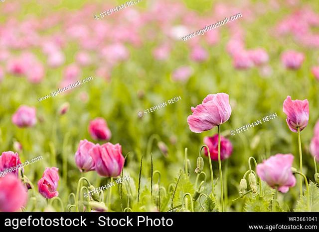 Germany, Hesse, Opium poppy flower