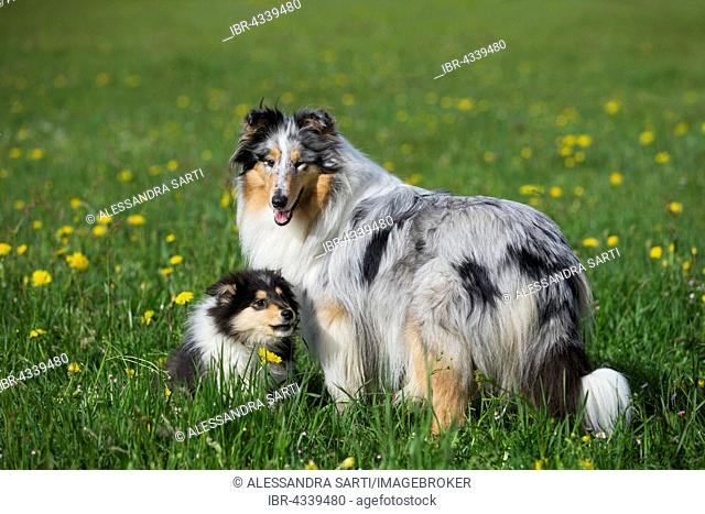Collie, Scottish shepherd, blue merle and tricolor, with puppy in dandelion meadow, Salzburg, Austria