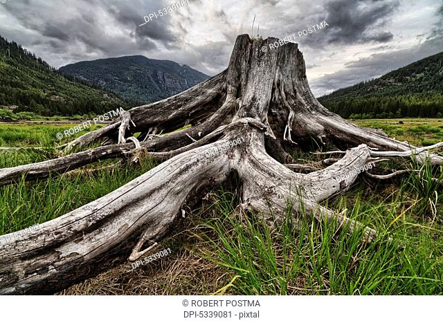 Old stump in the flood plains at the south end of Buttle Lake, Strathcona Provincial Park; British Columbia, Canada