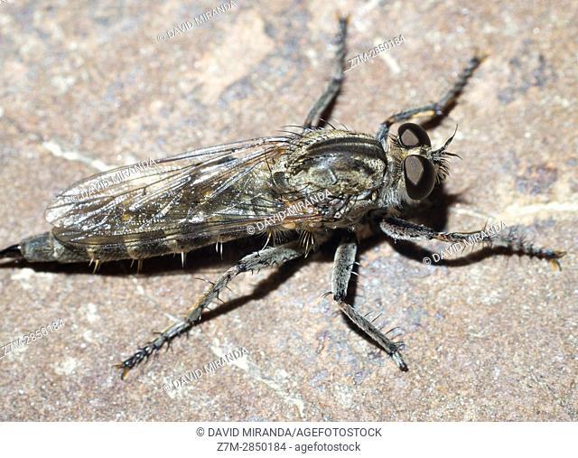 Machimus atricapillus. Fam. Asilidae. Diptera. Insect. Arthropoda. Macro
