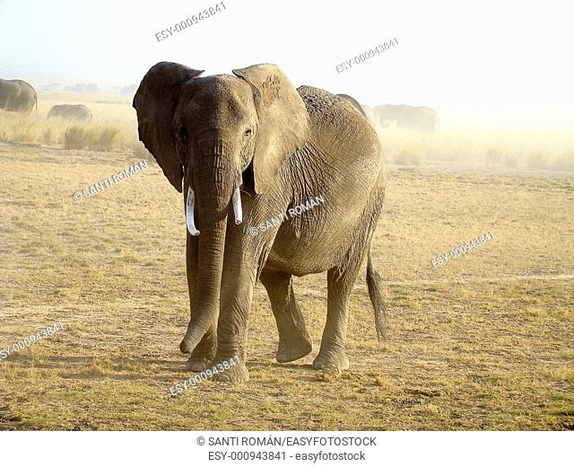 African Elephant Loxodonta africana. Samburu National Reserve. Kenya