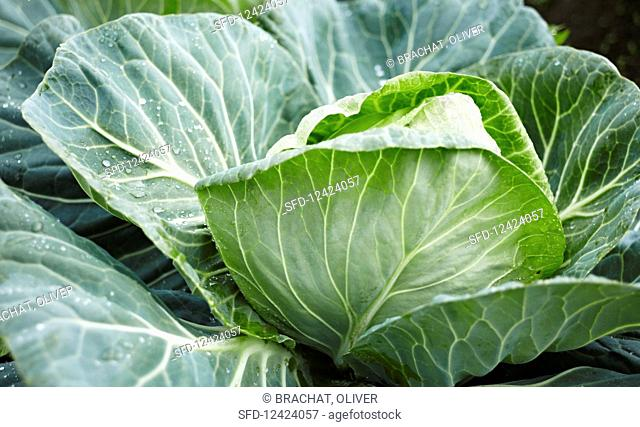 Cabbages in the field