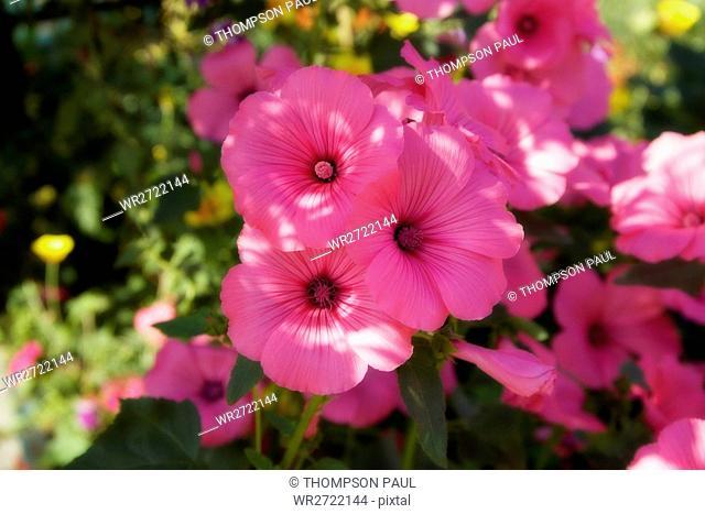 90900141, Pink Petunias, pink, Petunia, flower, fl