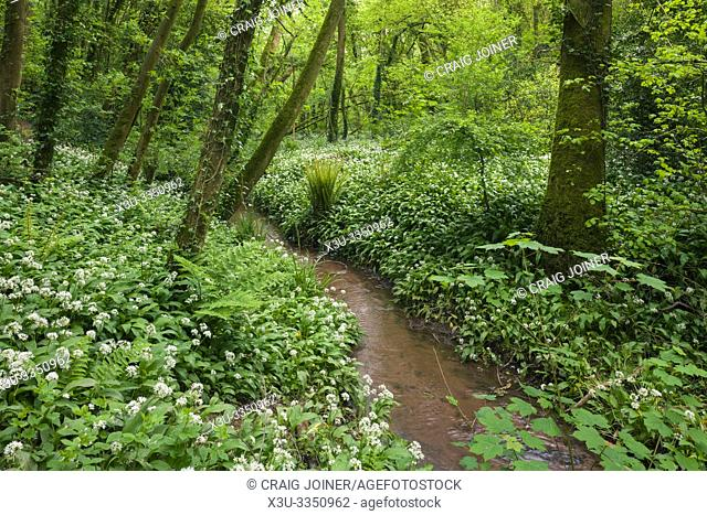 Ramsons or Wild Garlic (Allium ursinum) in spring at Paradise Bottom in Leigh Woods near Bristol, North Somerset, England