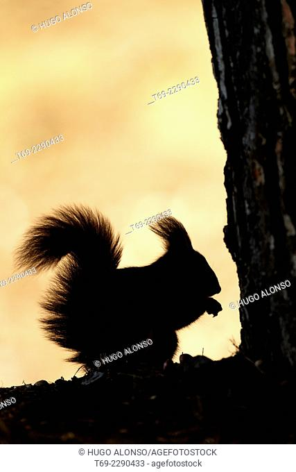 Red squirrel silhouette Sciurus vulgaris