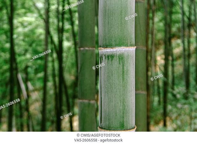 Close up of the stong trunk of bamboo