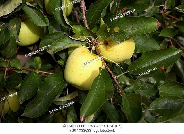 Apple Golden on a tree  LLeida  Spain