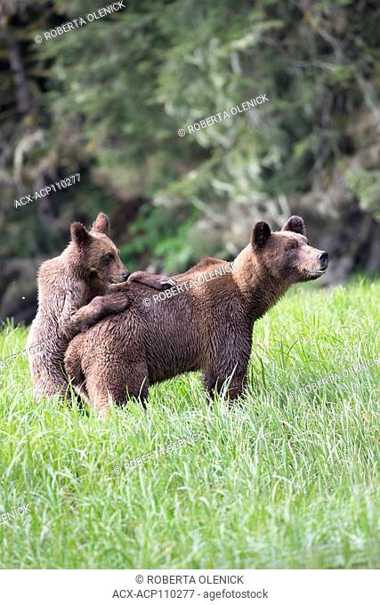 Grizzly bear (Ursus arctos horriblis), female and yearling cub with paws on female's back, Khutzeymateen Grizzly Bear Sanctuary, British Columbia, Canada