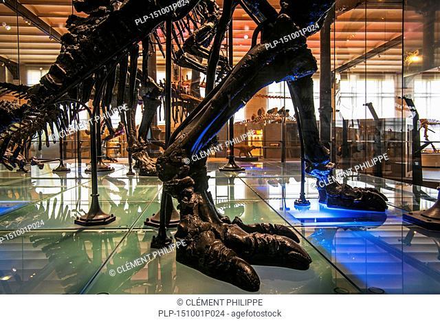 Mounted skeletons of Iguanadon dinosaurs at the Dinosaur hall in the Royal Belgian Institute of Natural Sciences / Museum of Natural Sciences