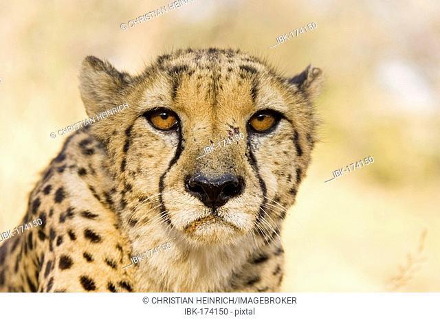Cheetah (Acinonyx jubatus), Namibia, Africa