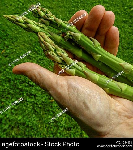 Gardener holding fresh cut asparagus