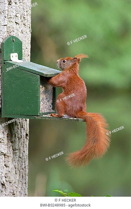 European red squirrel, Eurasian red squirrel Sciurus vulgaris, getting feed from a feeding box with the paws, Germany