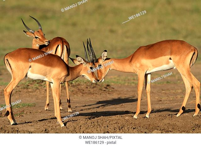 Impalas: after fighting, the males make up by greeting each other, Maasai Mara Game Reserve, Kenya
