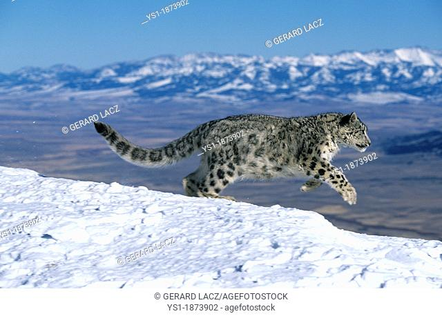 Snow Leopard or Ounce, uncia uncia, Adult running through Mountain