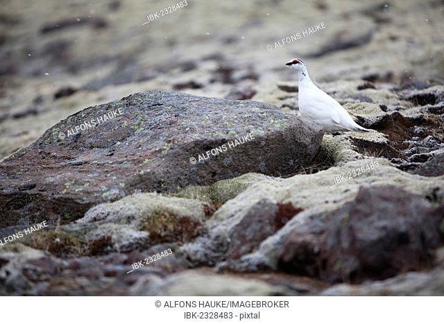 Rock Ptarmigan (Lagopus muta), Skaftafells National Park, East Iceland, Iceland, Europe