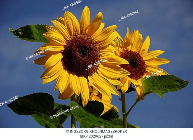 Two sunflowers (Helianthus annuus), Schleswig-Holstein, Germany