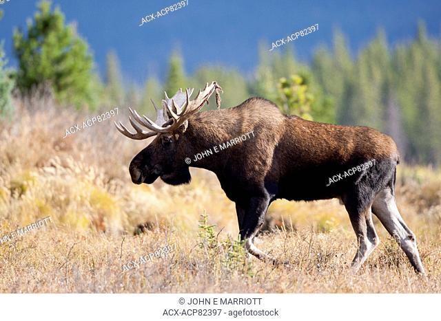 Bull moose in the fall rut, Alberta, Canada