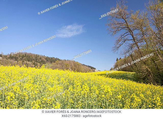 Fields of rapeseed near Chapeiry in Haute-Savoie, Rhône-Alpes, France