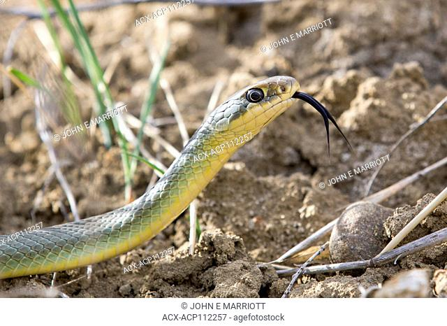 Eastern yellow bellied racer, Coluber constrictor