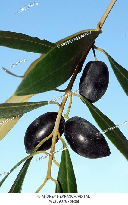 Olives (Olea europaea), Greece, Europe