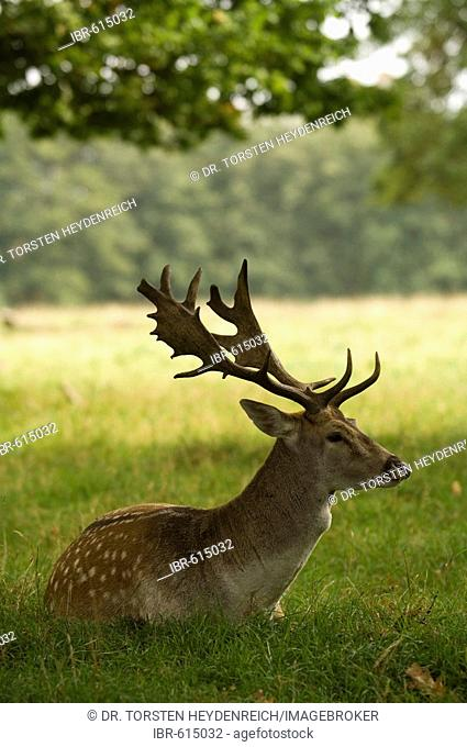 Fallow Deer (Dama dama) in its enclosure, Putbus, Ruegen Island, Mecklenburg-Western Pomerania, Germany, Europe