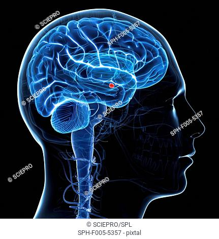 Amygdala of the brain, computer artwork. The amygdala red is part of the brain's limbic system and plays a key role in processing emotions