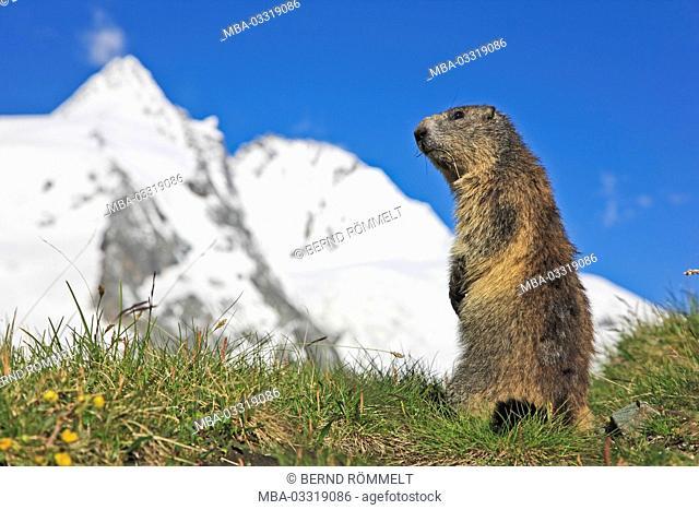Austria, Carinthia, High Tauern (Hohe Tauern), High Tauern National Park, alp groundhog, Marmota marmota, Grossglockner