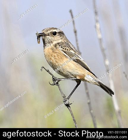 European Stonechat / Schwarzkehlchen ( Saxicola torquata ), female, perched on top of a bush, prey in beak, in typical environment, wildlife, Europe