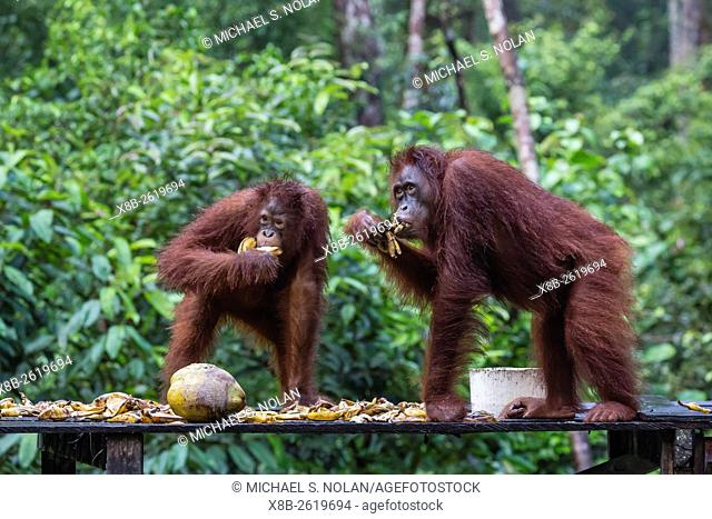 Reintroduced adult orangutans, Pongo pygmaeus, Camp Leakey, Tanjung Puting National Park, Borneo, Indonesia