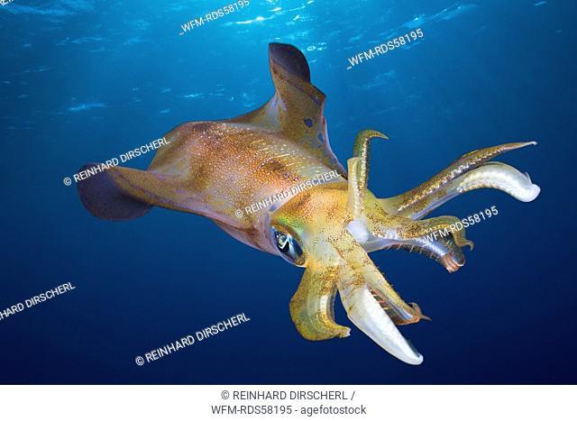 Bigfin Reef Squid, Sepioteuthis lessoniana, Daedalus Reef, Red Sea, Egypt
