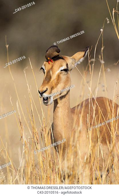 Impala (Aepyceros melampus) + Red-billed Oxpecker (Buphagus erythrorhynchus) - Female impala with oxpecker at its head. The oxpeckers are associated with large...