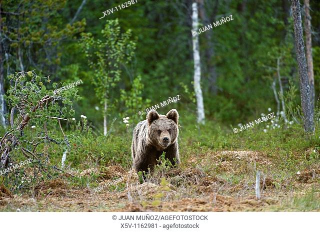 European brown bear Ursus arctos arctos. Finland. Scandinavia. Europe