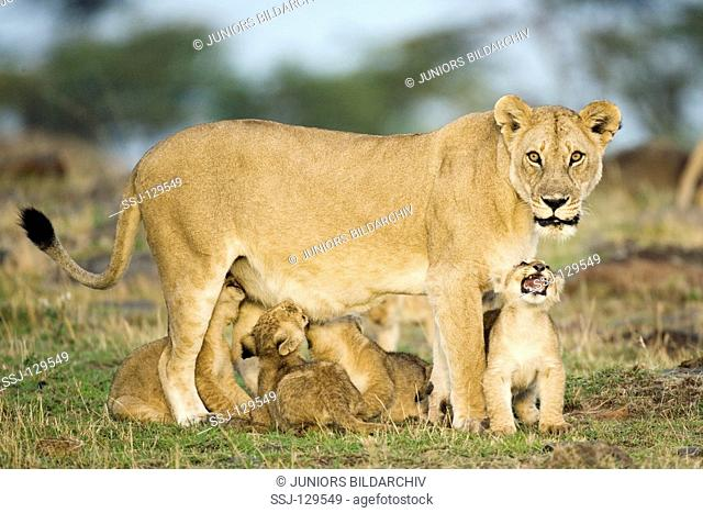lioness with cubs - Panthera leo