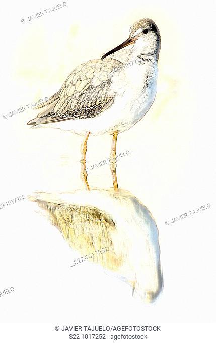 Spotted Redshank, Tringa erythropus