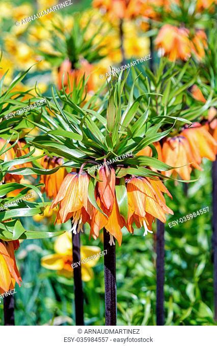 Garland Star, Fritillaria Imperialis