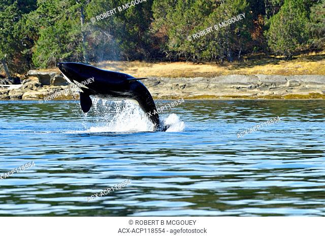 An adult killer whale (Orcinus orca) breaching near the shore on Vancouver Island B.C