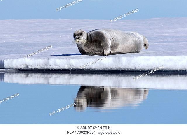 Bearded seal / square flipper seal (Erignathus barbatus) resting on ice floe in the Arctic Ocean, Svalbard / Spitsbergen, Norway
