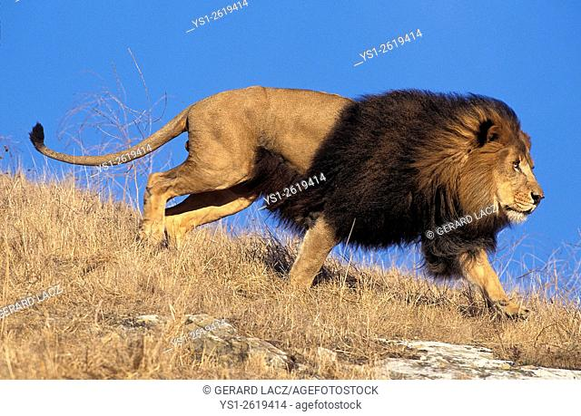 African Lion, panthera leo, Male