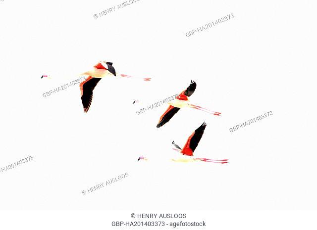 França, Camargue, Flamingo, Phoenicopterus roseus, Flying, 18/05/2012