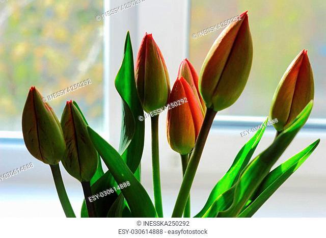 on the windowsill are unblown tulips